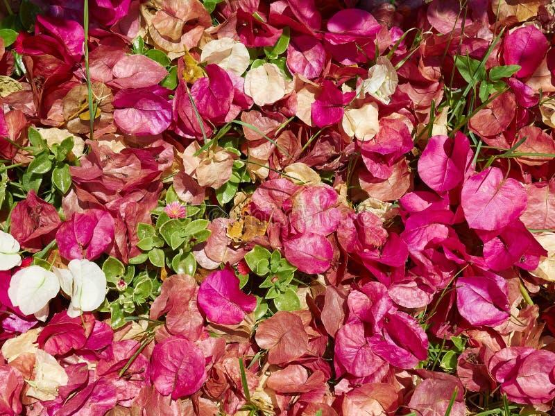 Fiore di carta di fioritura della buganvillea fotografie stock