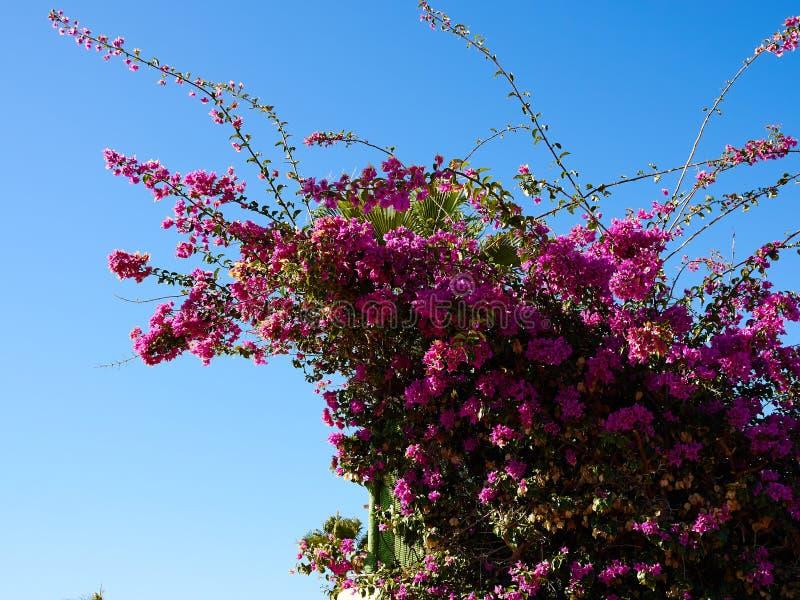 Fiore di carta di fioritura della buganvillea immagine stock libera da diritti