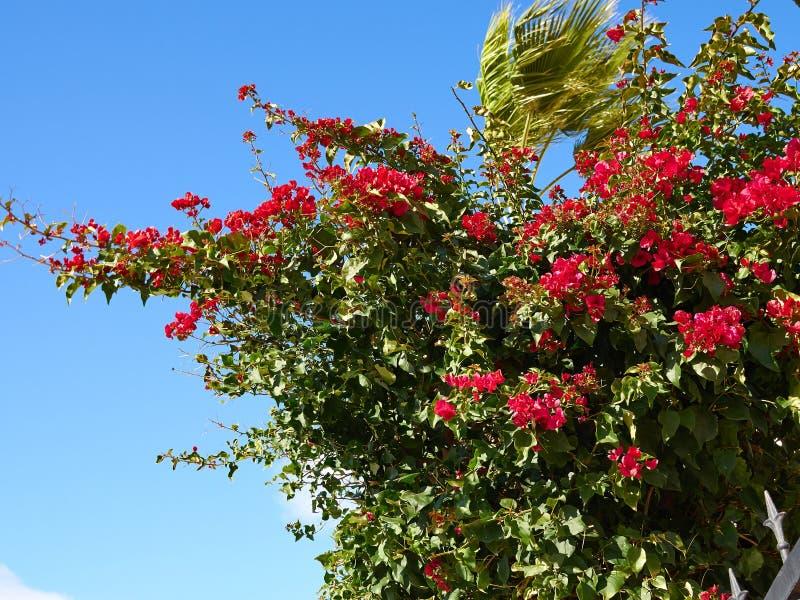 Fiore di carta di fioritura della buganvillea immagini stock libere da diritti