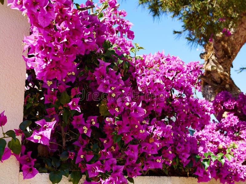 Fiore di carta di fioritura della buganvillea fotografia stock libera da diritti