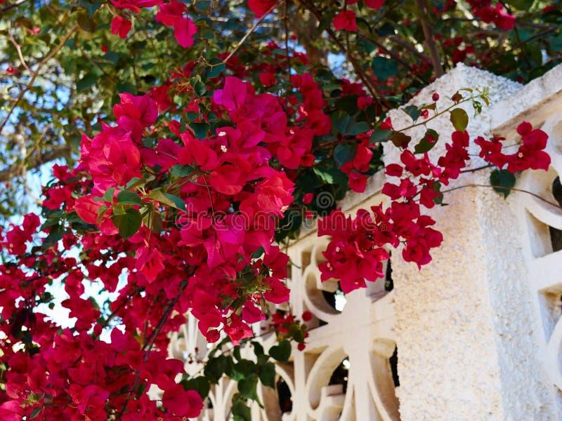 Fiore di carta di fioritura della buganvillea fotografie stock libere da diritti