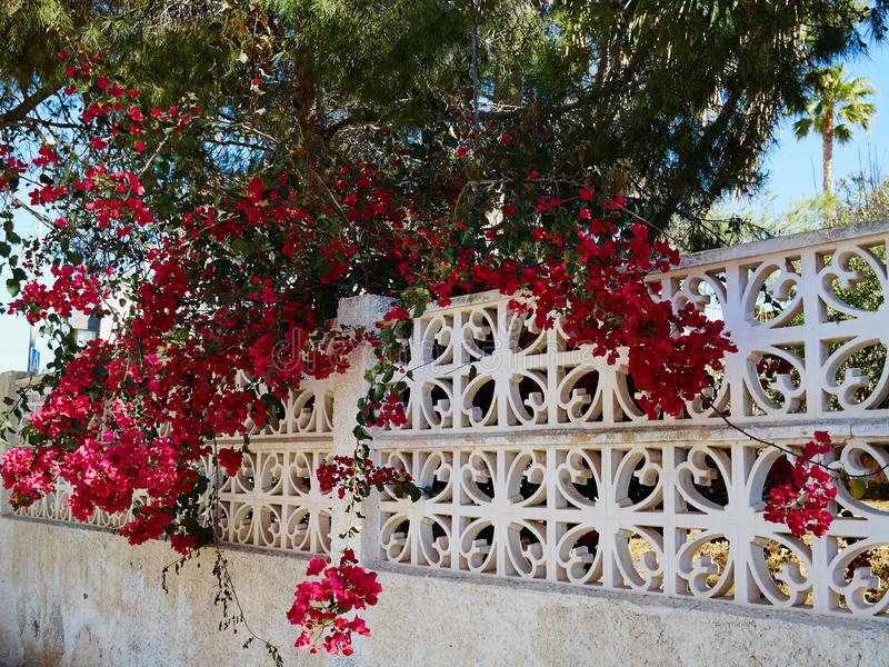 Fiore di carta di fioritura della buganvillea fotografia stock
