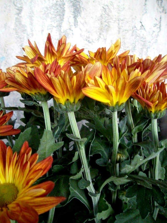 Fiore di Chrysanth immagine stock libera da diritti