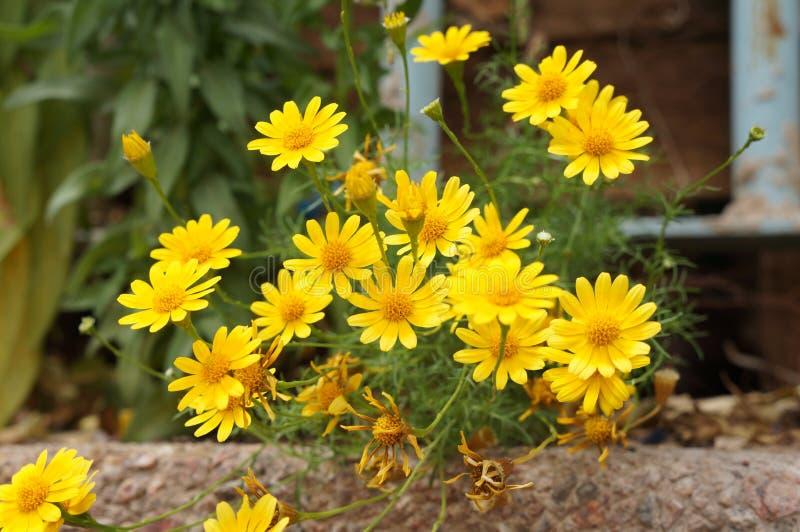 Fiore di chrysanthemum coronarium fotografia stock libera da diritti