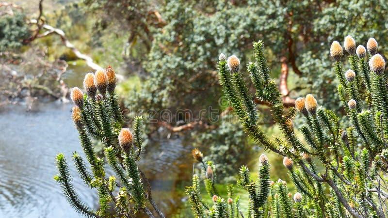 Fiore di Chuquirahua degli altopiani delle Ande fotografia stock libera da diritti