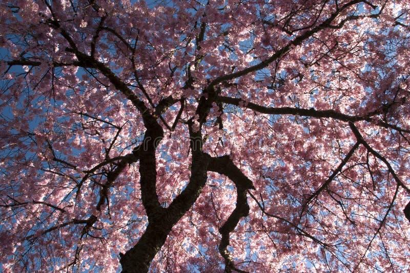 Fiore di ciliegia fotografie stock libere da diritti