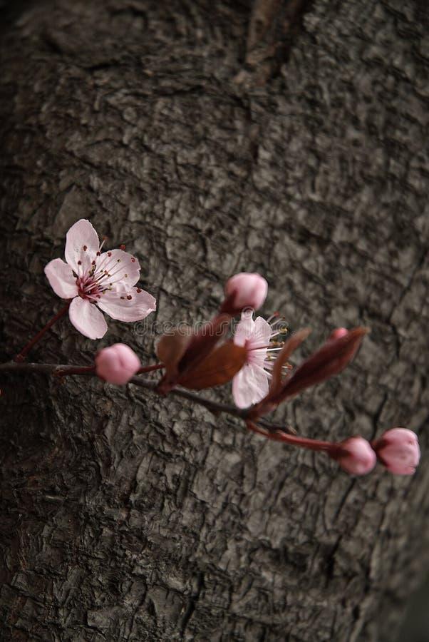 Fiore di ciliegia immagine stock
