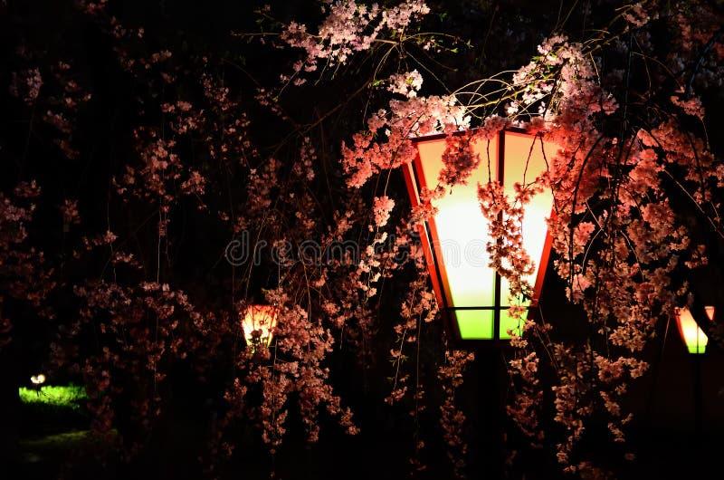 Fiore di ciliegia alla notte, Osaka Japan fotografia stock libera da diritti