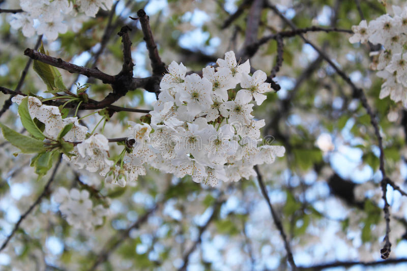 Fiore di ciliegia, bianco immagine stock