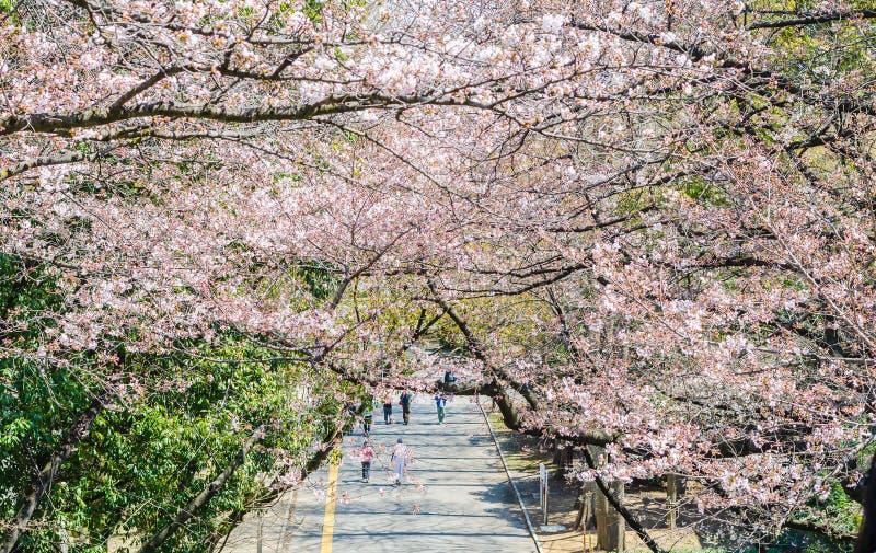 Fiore di ciliegia che fiorisce sugli alberi sopra la via di camminata nel Giappone fotografia stock