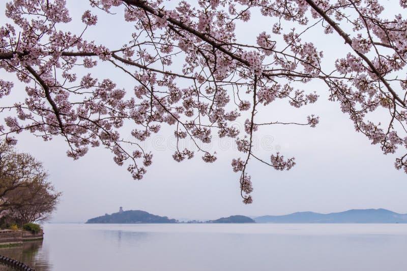 Fiore di ciliegia con la vista del lago immagini stock
