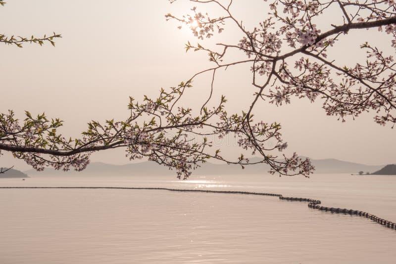 Fiore di ciliegia con la vista del lago immagini stock libere da diritti