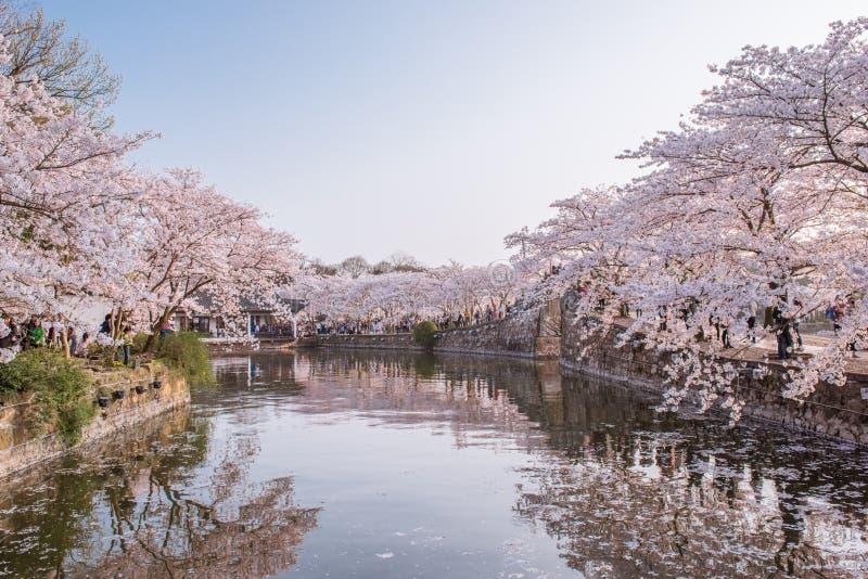 Fiore di ciliegia con la vista dello stagno fotografia stock libera da diritti