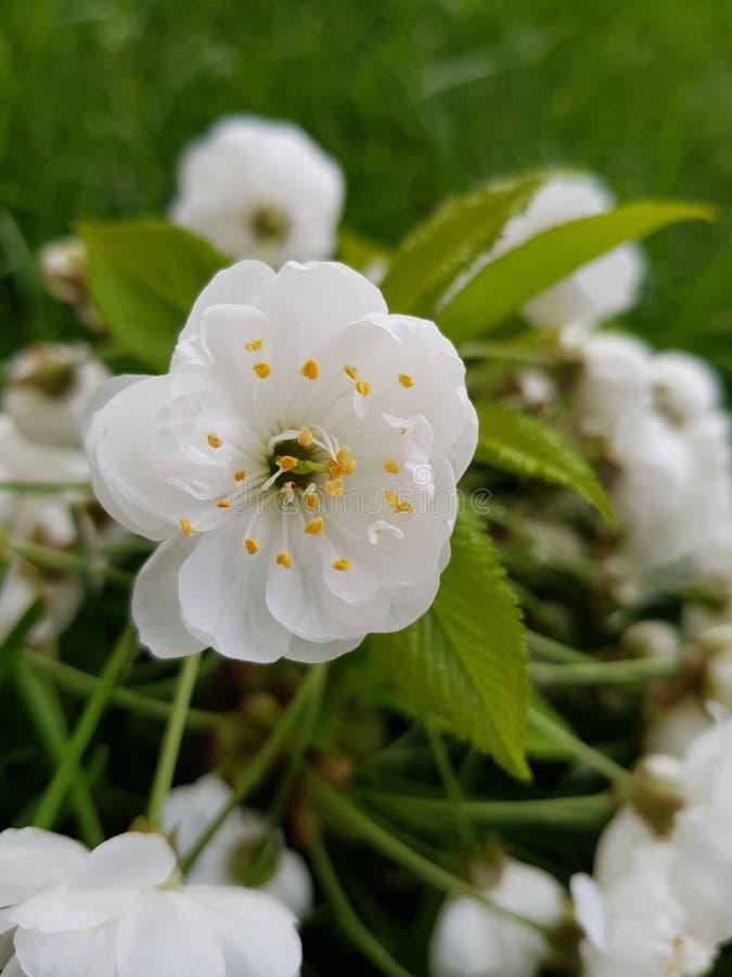 Fiore di ciliegia con un fondo di parecchi fiori di ciliegia immagine stock