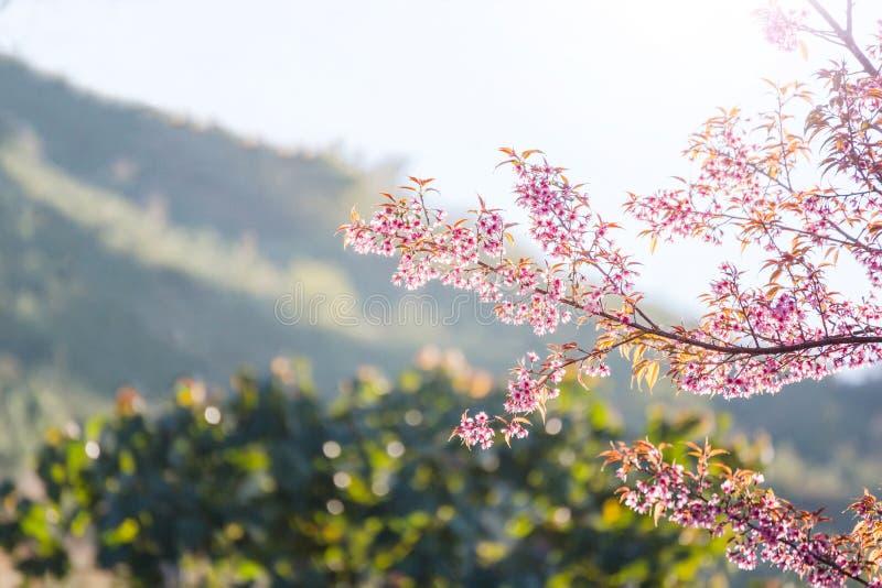 Fiore di ciliegia del primo piano con il fondo Sakura Blo tailandese del cielo blu immagini stock libere da diritti