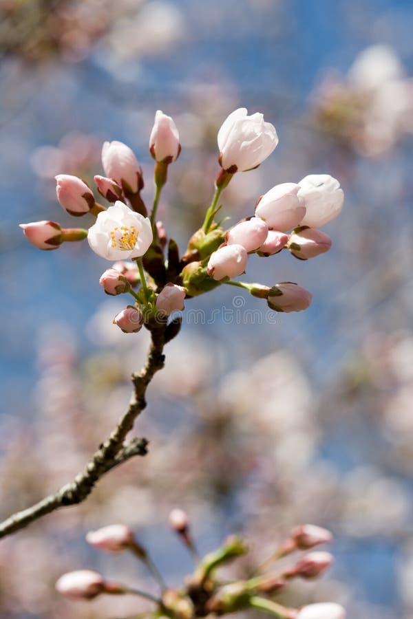 Fiore di ciliegia della sorgente contro cielo blu, primo piano immagine stock