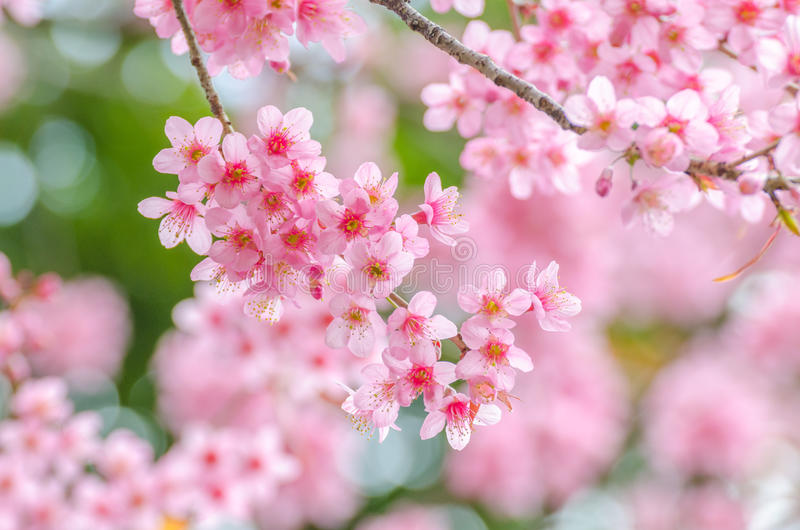 Fiore di ciliegia dentellare immagini stock libere da diritti