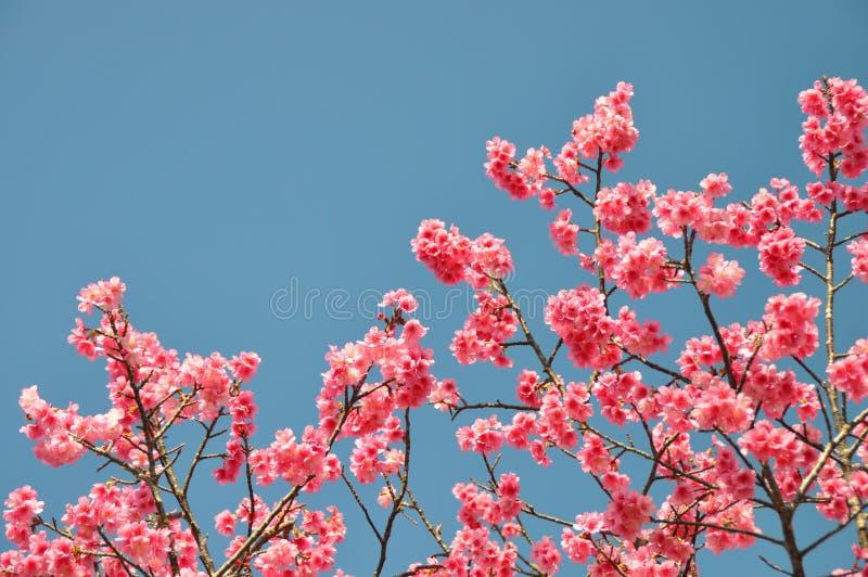 Fiore di ciliegia dentellare fotografia stock