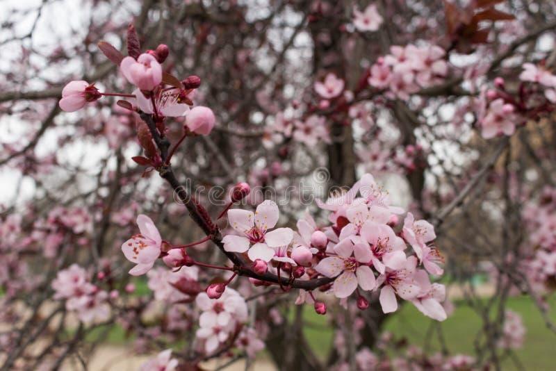 Fiore di ciliegia dentellare Bokeh fotografia stock libera da diritti