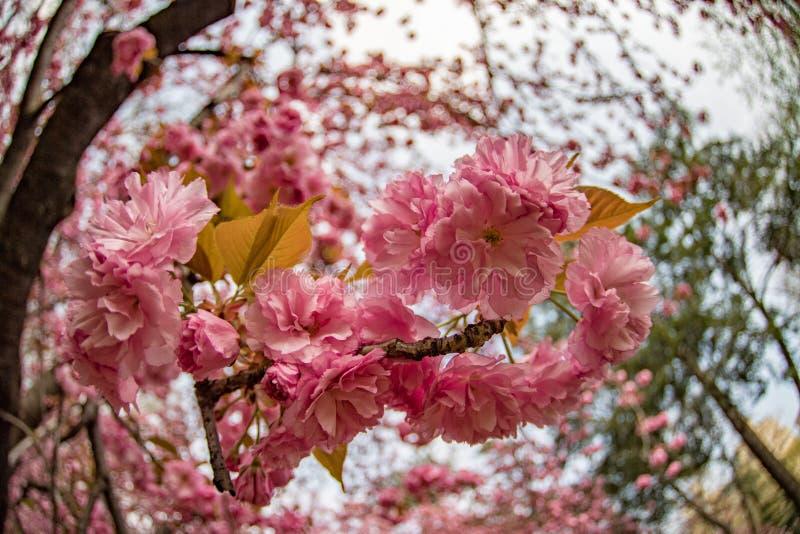 Fiore di ciliegia di Central Park New York fotografie stock libere da diritti
