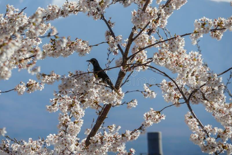Fiore di ciliegia e piccolo uccello al monte Fuji, Giappone fotografia stock