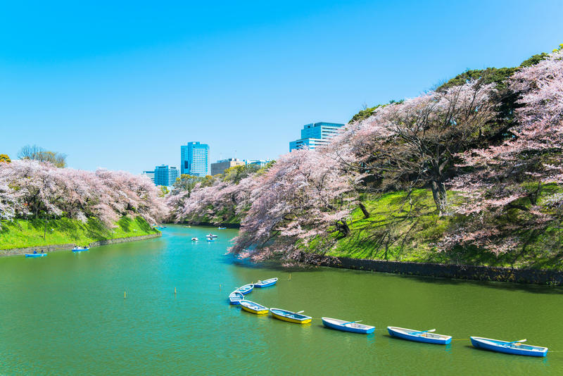 Fiore di ciliegia giapponese in primavera fotografia stock libera da diritti