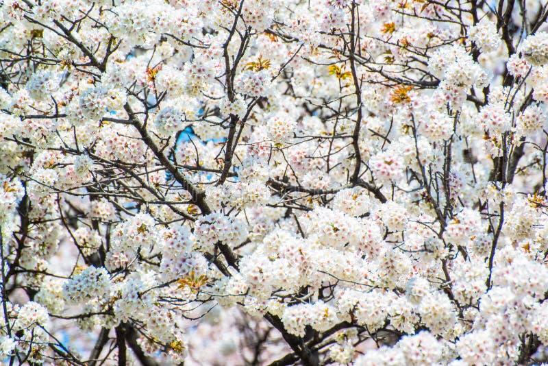 Fiore di ciliegia giapponese in primavera immagini stock libere da diritti