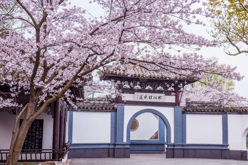 Fiore di ciliegia in giardino cinese immagini stock libere da diritti