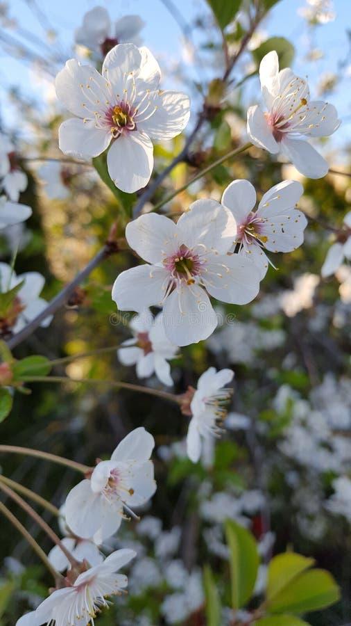 Fiore di ciliegia meraviglioso fotografie stock libere da diritti