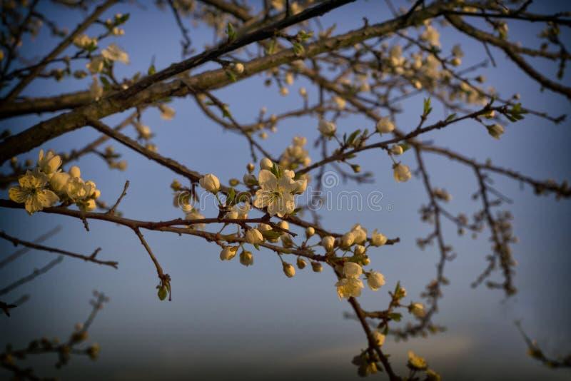 Fiore di ciliegia in molla in anticipo ad alba contro il cielo con la scenetta immagine stock libera da diritti