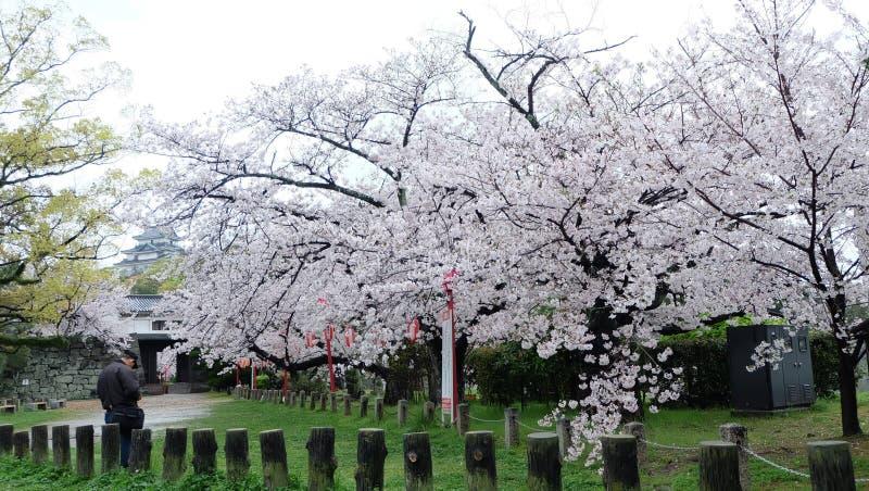 Fiore di ciliegia nel castello di Wakayama fotografia stock libera da diritti
