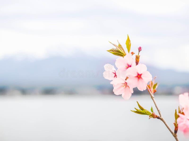 Fiore di ciliegia nel fondo della natura fotografia stock
