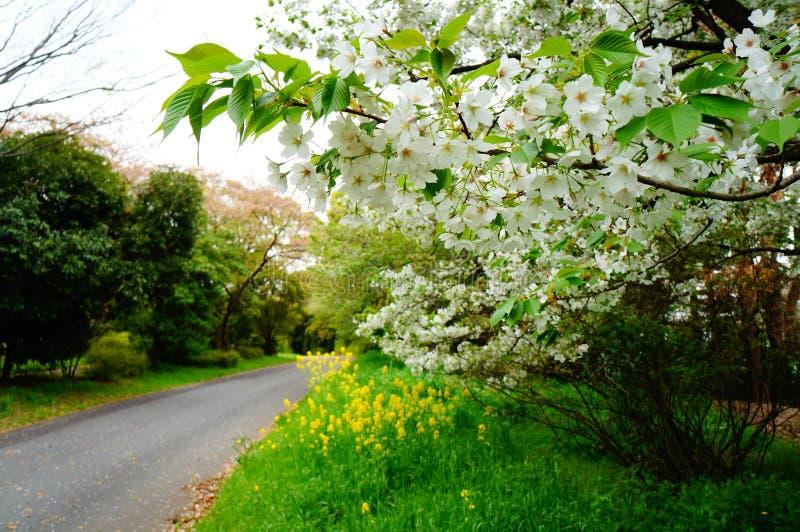 Fiore di ciliegia nel Giappone fotografie stock libere da diritti