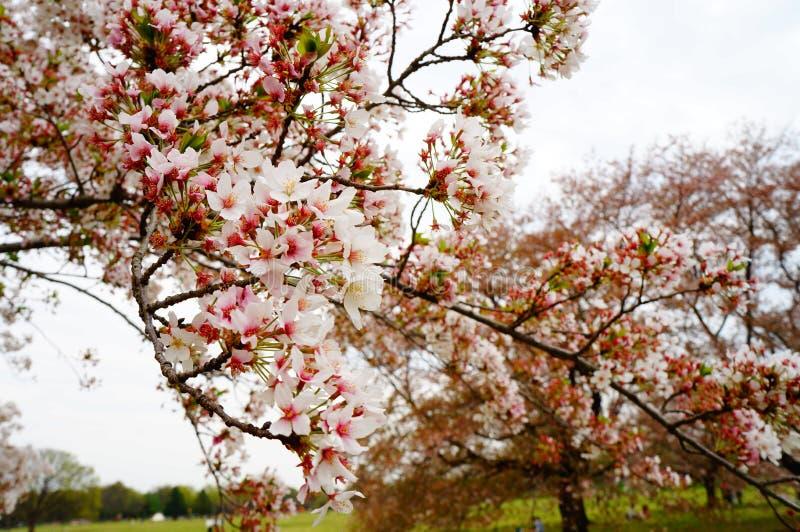 Fiore di ciliegia nel Giappone immagini stock libere da diritti