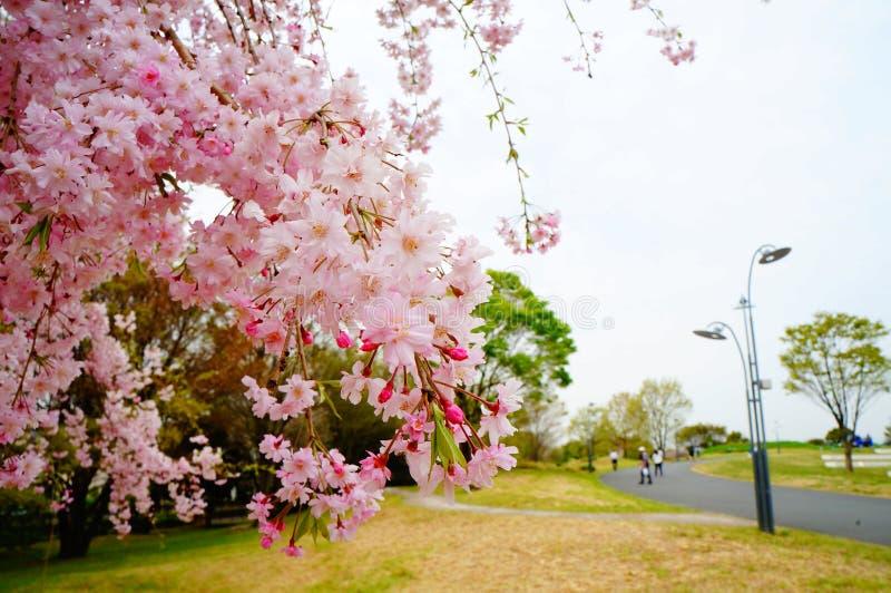 Fiore di ciliegia nel Giappone fotografie stock