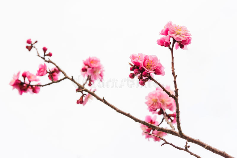 fiore di ciliegia o rosa Sakura isolato su bianco fotografia stock libera da diritti