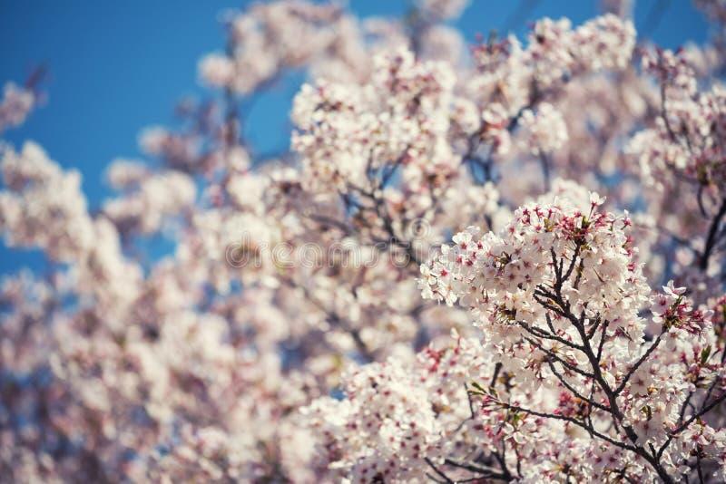 Fiore di ciliegia o sakura e cielo blu fotografia stock libera da diritti