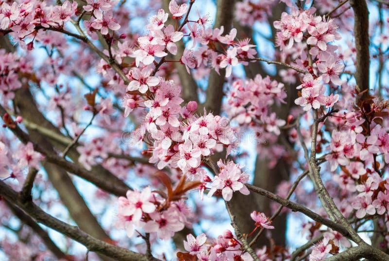Fiore di ciliegia in piena fioritura La ciliegia fiorisce in piccoli mazzi su un ciliegio fotografia stock