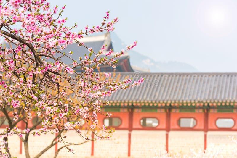 Fiore di ciliegia in primavera del palazzo di Gyeongbokgung a Seoul, Corea fotografia stock libera da diritti