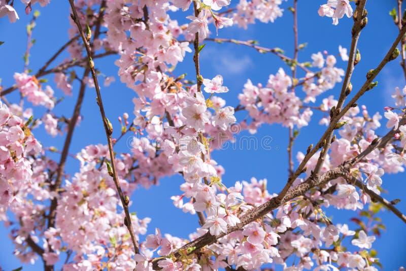 Fiore di ciliegia rosa della molla, fondo del cielo blu fotografie stock