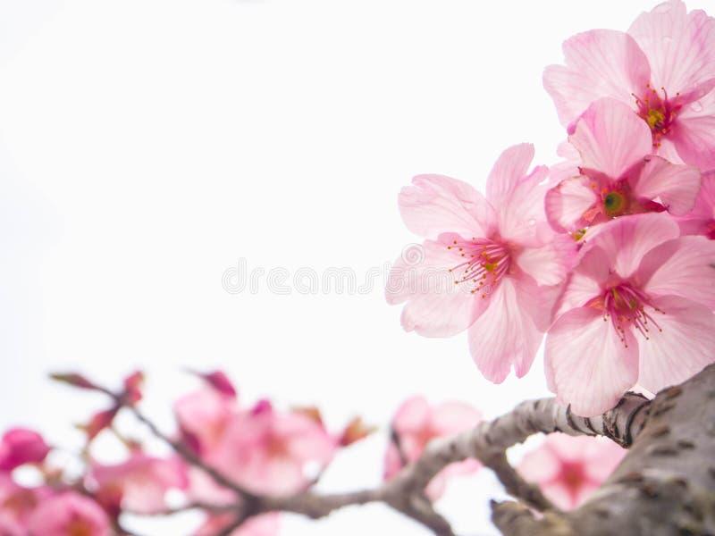 Fiore di ciliegia rosa dello zoom fotografia stock