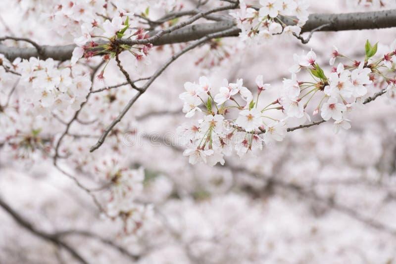 Fiore di ciliegia rosa e bianco immagini stock libere da diritti