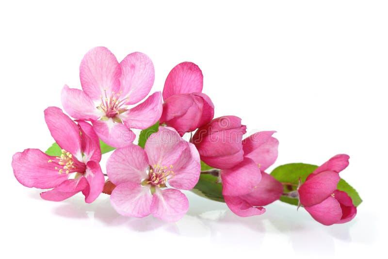 Fiore di ciliegia rosso fotografia stock libera da diritti