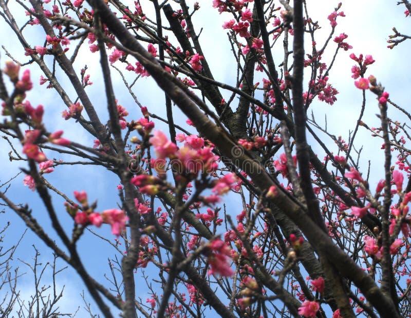 Fiore di ciliegia Sakura fotografie stock