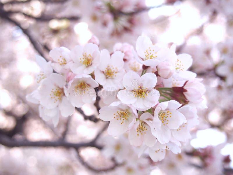 Fiore di ciliegia Sakura fotografia stock libera da diritti