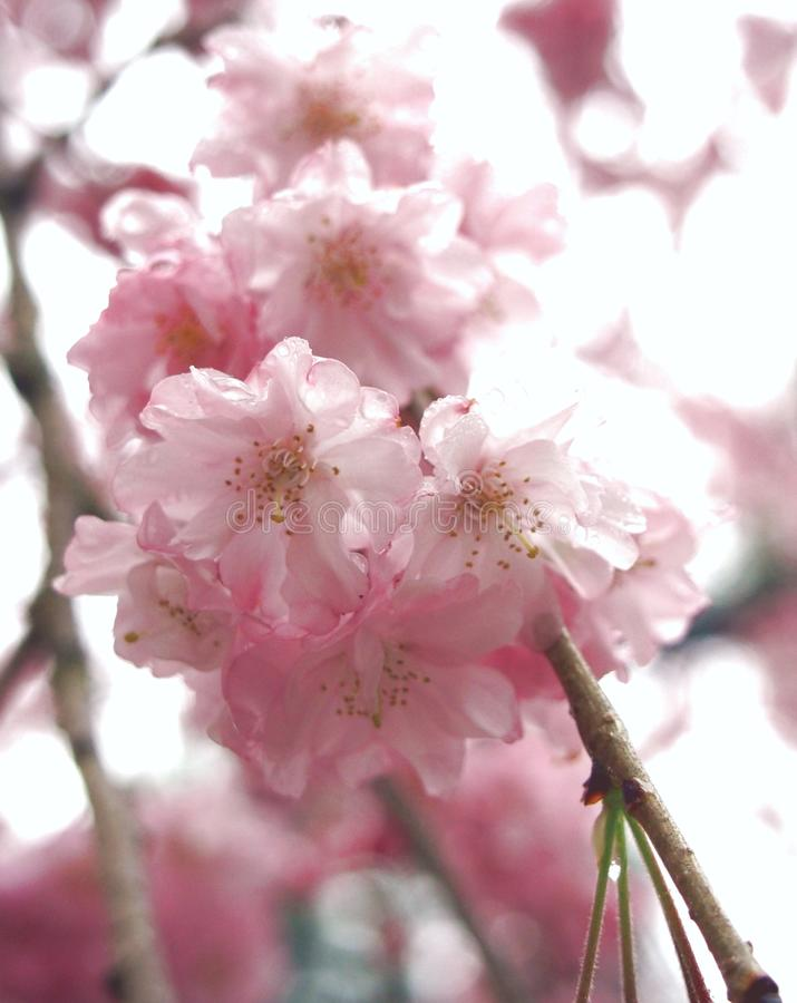 Fiore di ciliegia Sakura fotografia stock