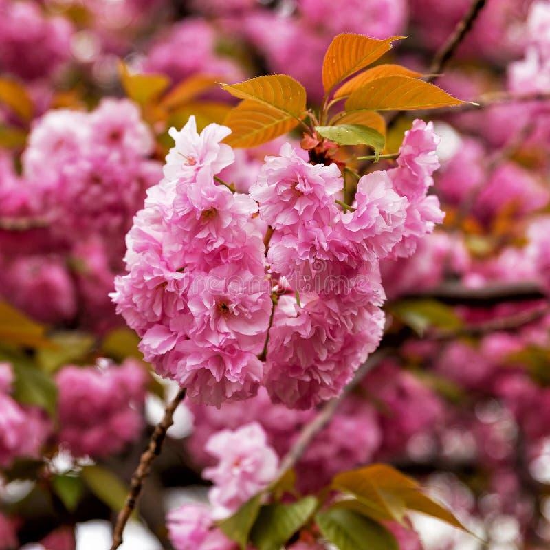 Fiore di ciliegia di sakura della primavera, fondo di nozze immagini stock libere da diritti
