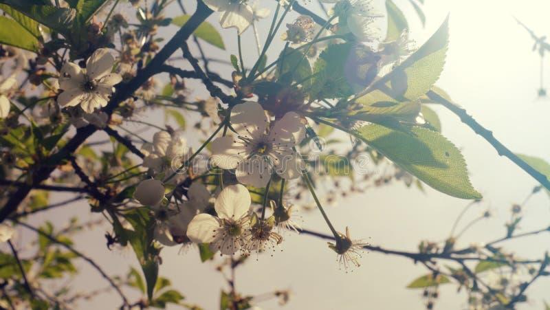 Fiore di ciliegia su un ramo di un sole dell'albero in primavera L'IT immagini stock libere da diritti