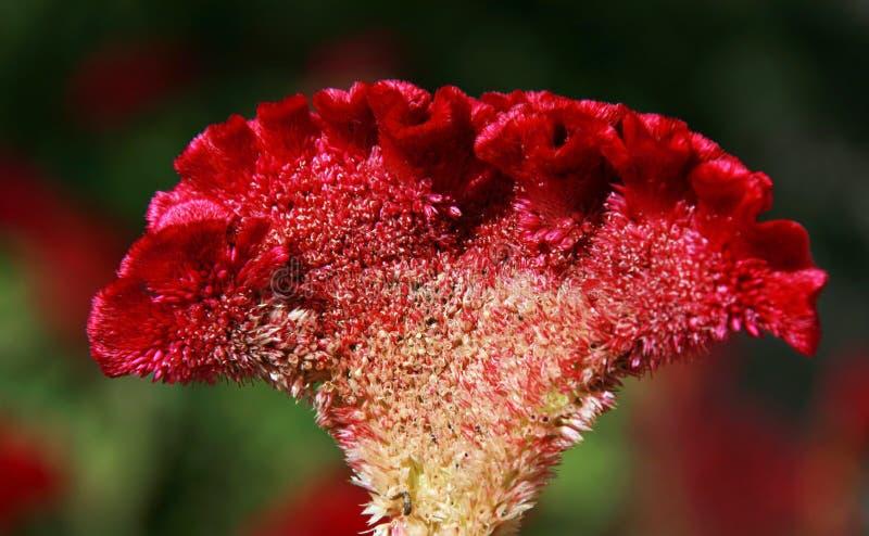 Fiore di Cockscomb