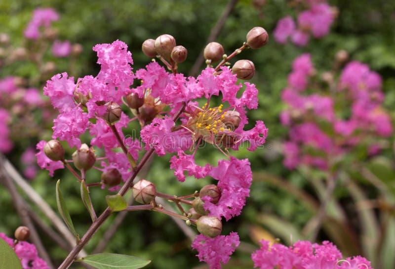 Fiore di crêpe fotografia stock libera da diritti